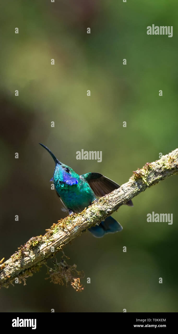 Mit einem gewölbten zurück ein Mann weniger Violetear hummerbird streckt seine Flügel heraus, das für Flug Stockbild