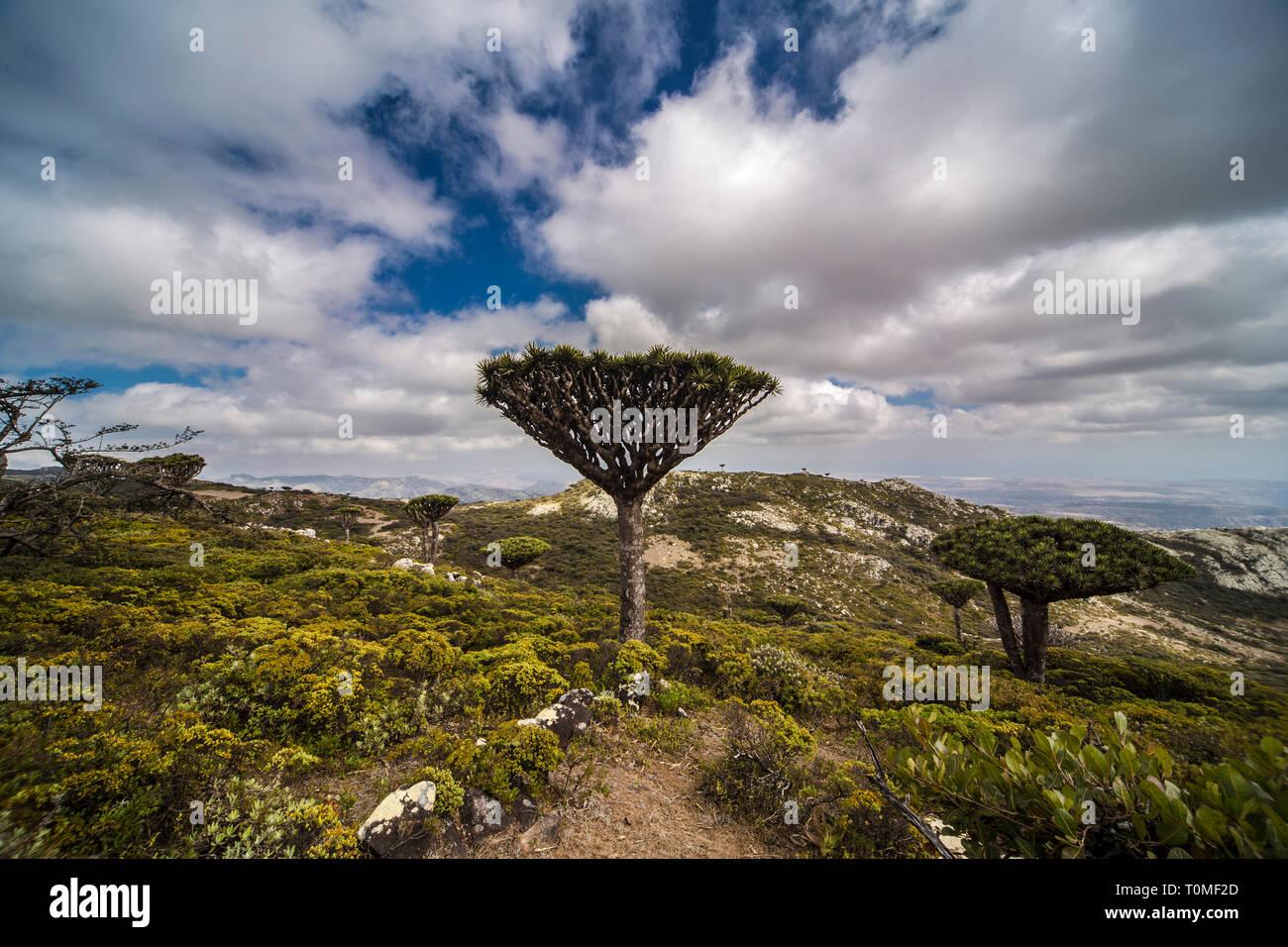 Sokotra Drachenbaum oder Drachenblutbaum, Dracaena cinnabari, Hajhir Gebirge, Sokotra Insel, Jemen Stockfoto