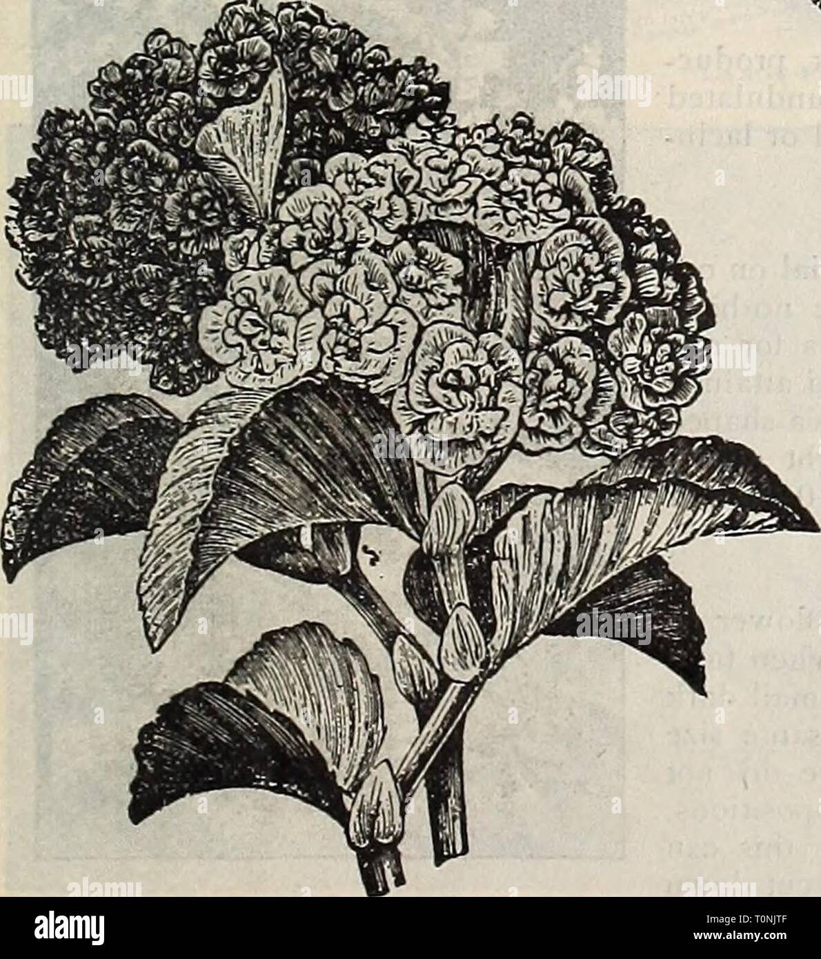 15 X Nelke Hardy Rand Gemischte Groß Jungpflanzen Krautige Bereit Zum Pflanze