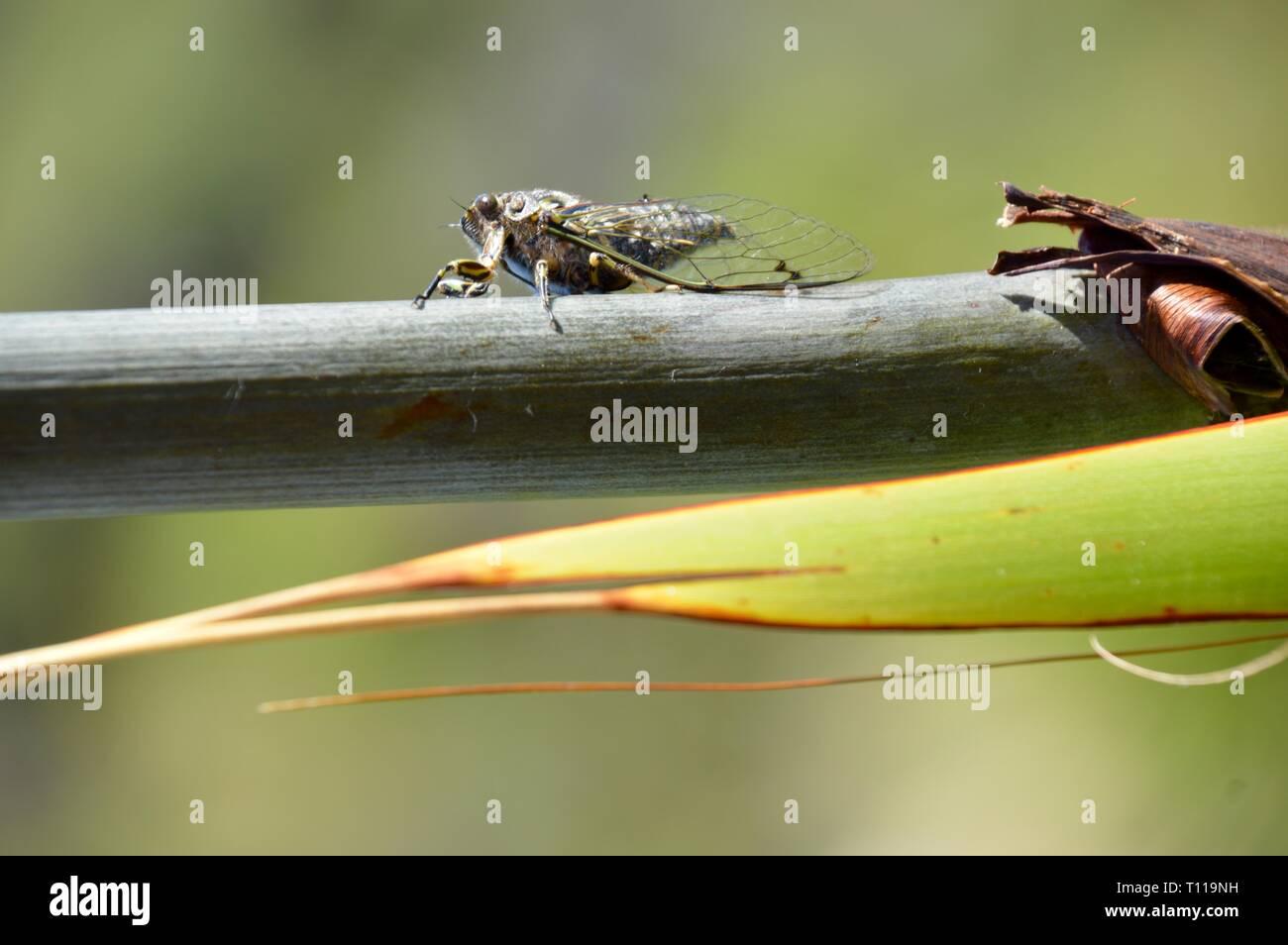 Schöne Kricket der enormen Lärm singen loudely mit ihren Flügeln Stockbild