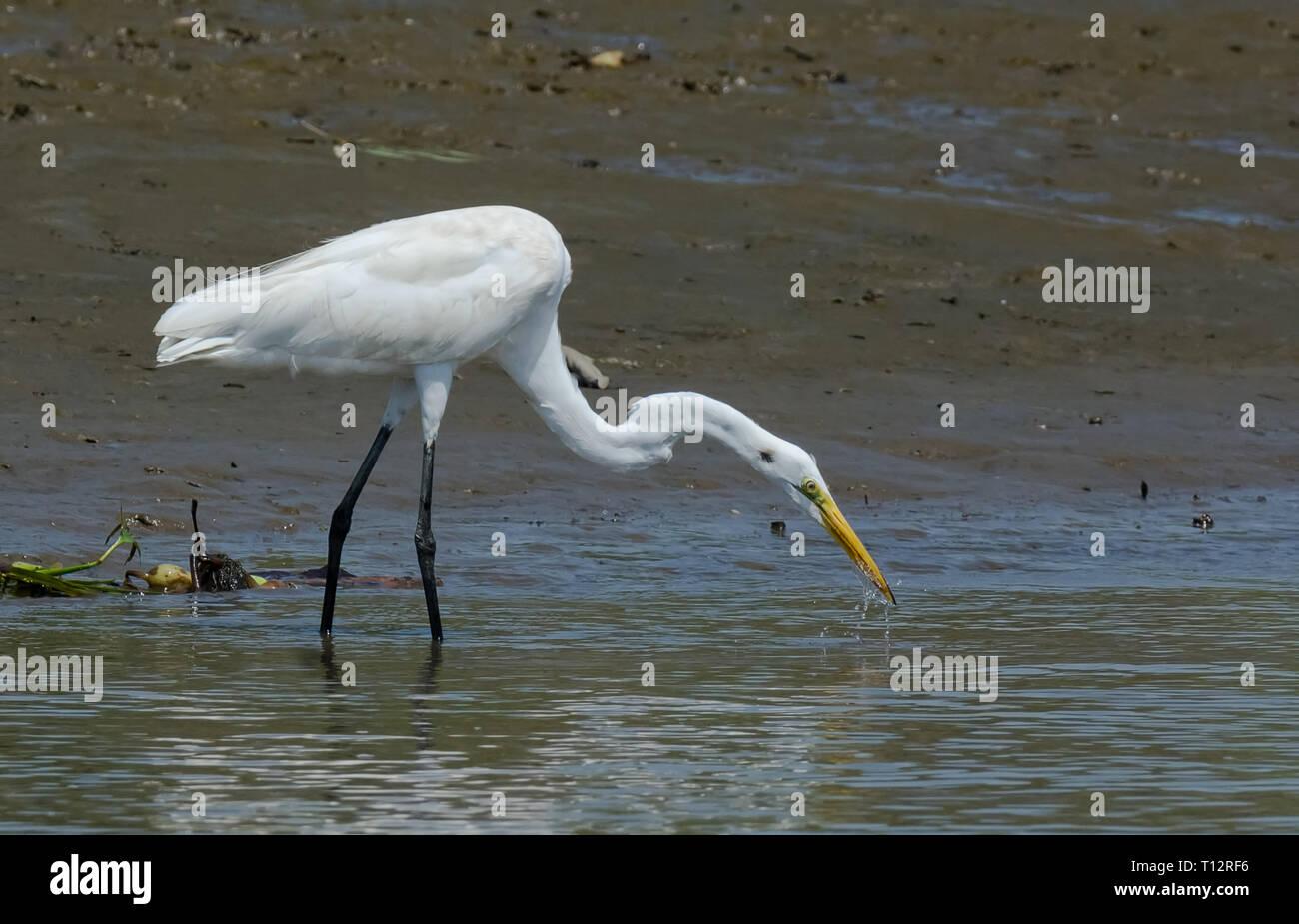 Das für ein Streik bei einem kleinen Fisch ein Silberreiher Spulen es Hals wie eine Feder Stockbild