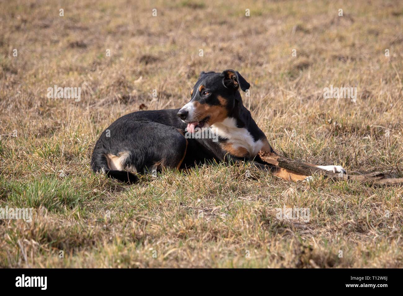 Schwarz Weissen Hund Im Fruhjahr Appenzeller Sennenhund