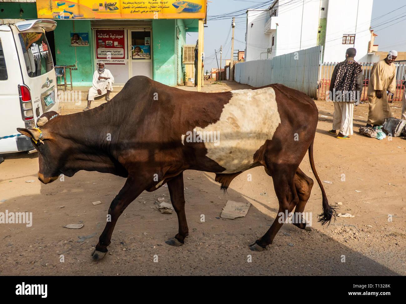 Nuri, Sudan, Februar 7., 2019: Ox mit braunen und weißen Fell ist durch die Straßen der Stadt im Sudan gezogen, auf dem Weg zum Schlachthof. Stockbild