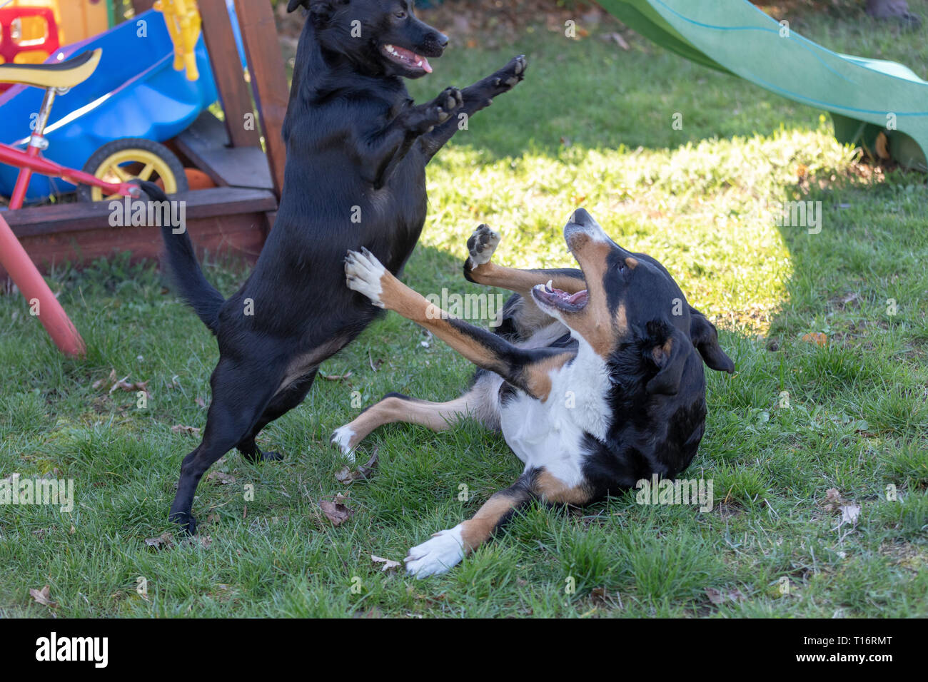 Appenzeller Sennenhund Spielt Mit Einem Labrador Mix Welpen