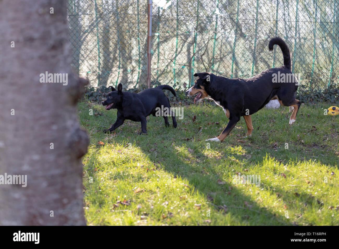 Appenzeller Sennenhund Laufen Mit Einem Labrador Mix Welpen