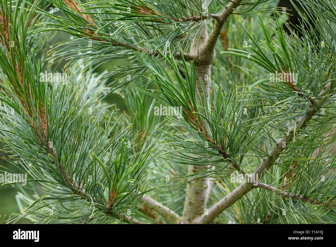 Zirbel Kiefer, Zirbelkiefer, Zirbel, Zirbe, Arve, Pinus