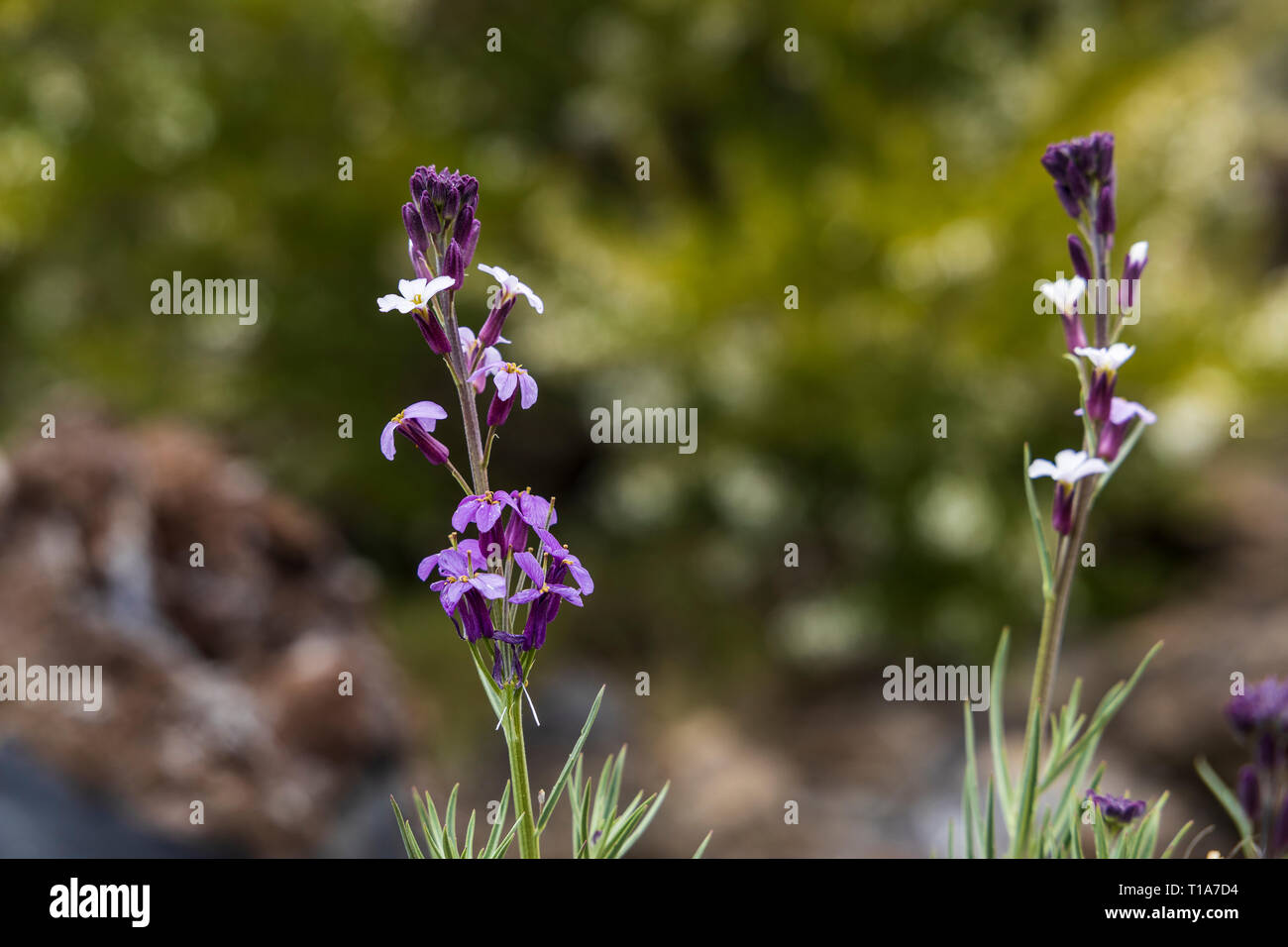 Erysimum scoparium, brassicaeceae, Blüte im Frühjahr, Kanarische Mauerblümchen, Teneriffa, Kanarische Inseln, Spanien Stockbild