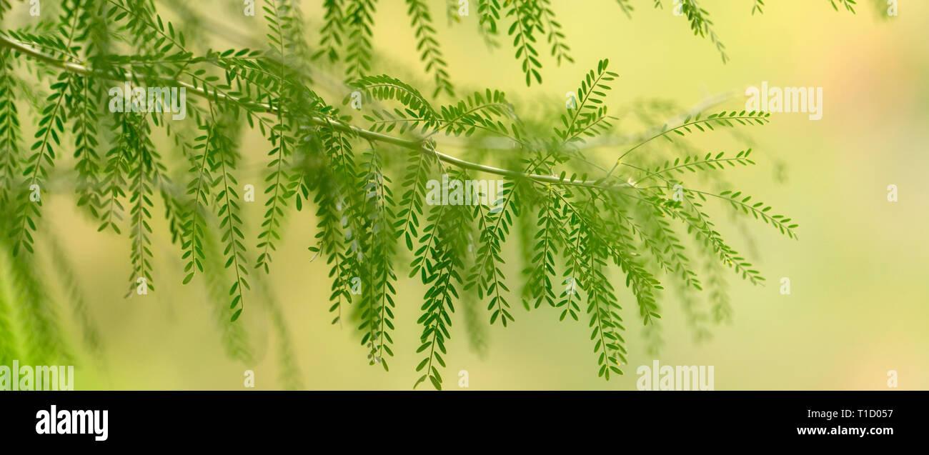 Nahaufnahme von unbekannter Baum Blätter. Palm Springs, Kalifornien Stockbild