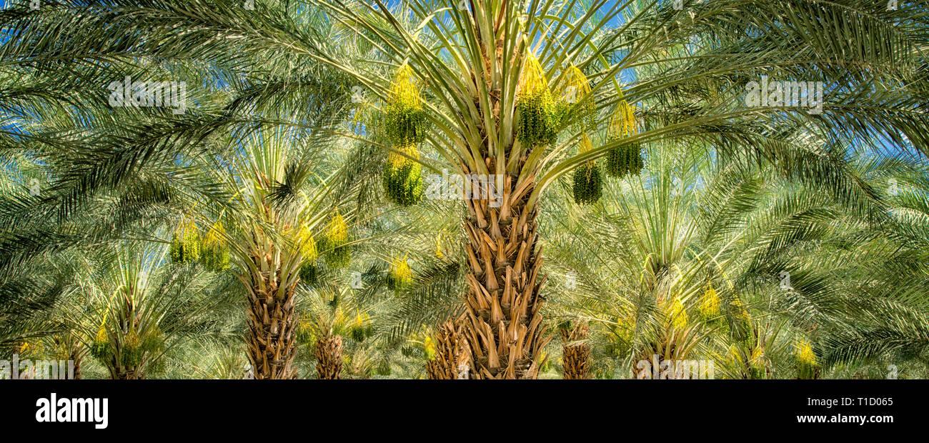 Dattelpalme Baum Obstgarten mit reifen Früchten. Indio, Kalifornien Stockbild