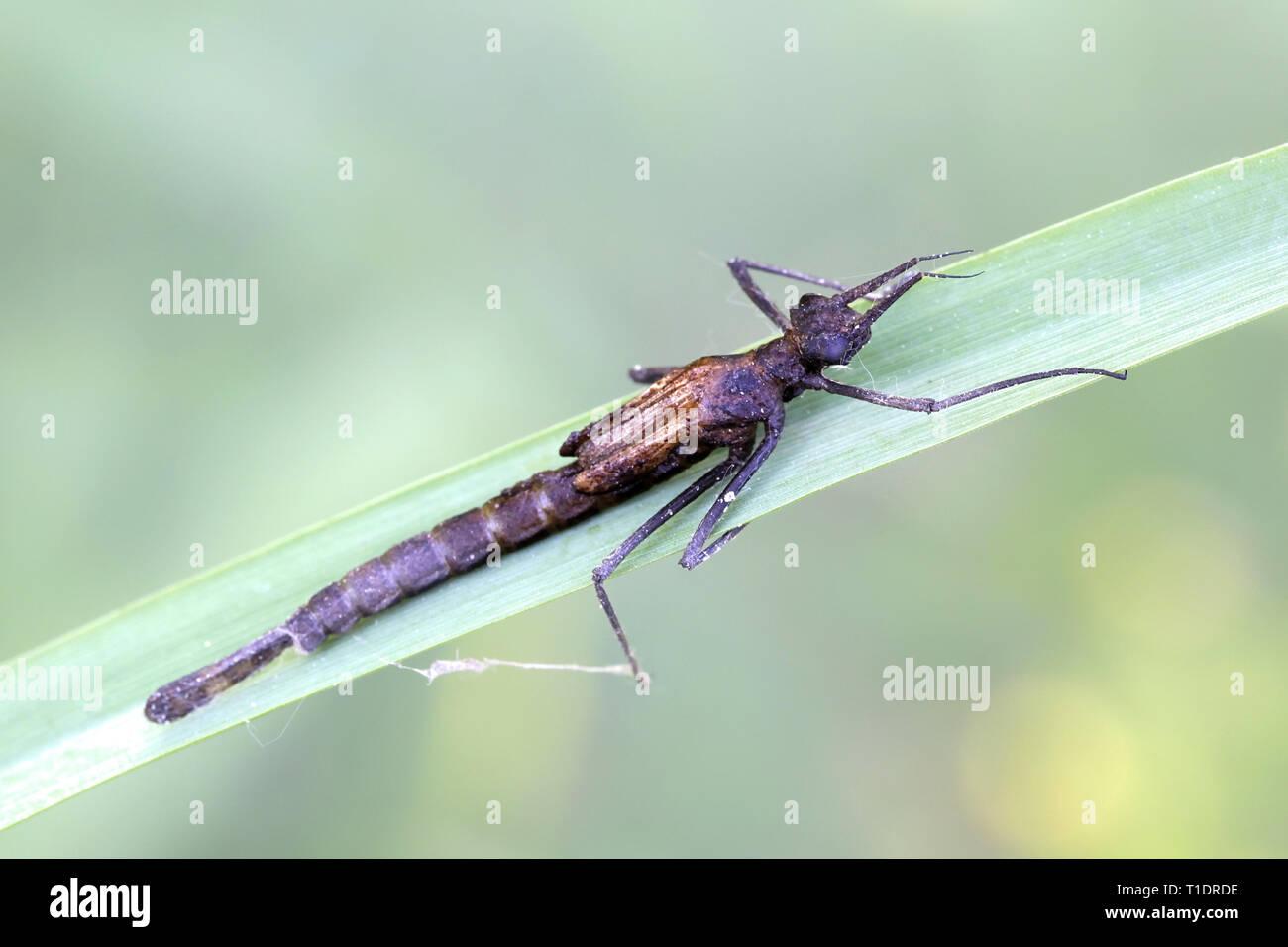 Gebänderte demoiselle Larve, Calopteryx splendens Stockbild