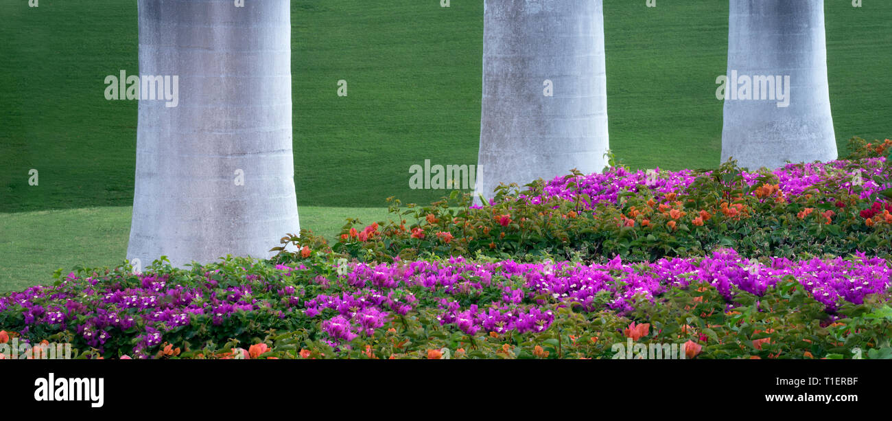 Bougainvillea-Garten mit Palmen. Hawaiis Big Island Stockbild