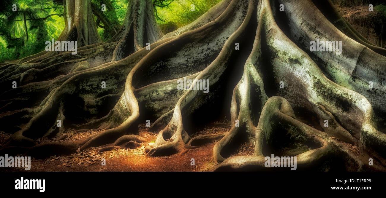 Morton Bay Feigenbäume. Alerton Gärten. In Jurassic Park film Stockbild