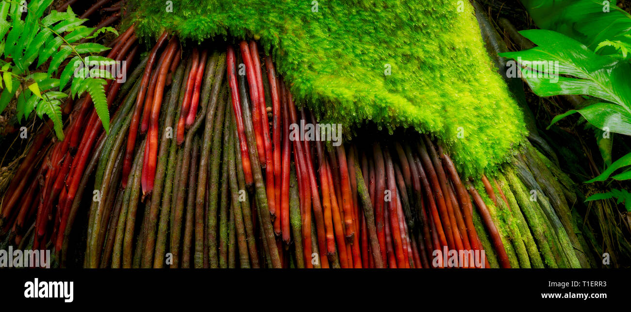 Freiliegende Wurzeln der Kokospalme. Hawaii Tropical Botanical Gardens, Big Island, Hawaii Stockbild