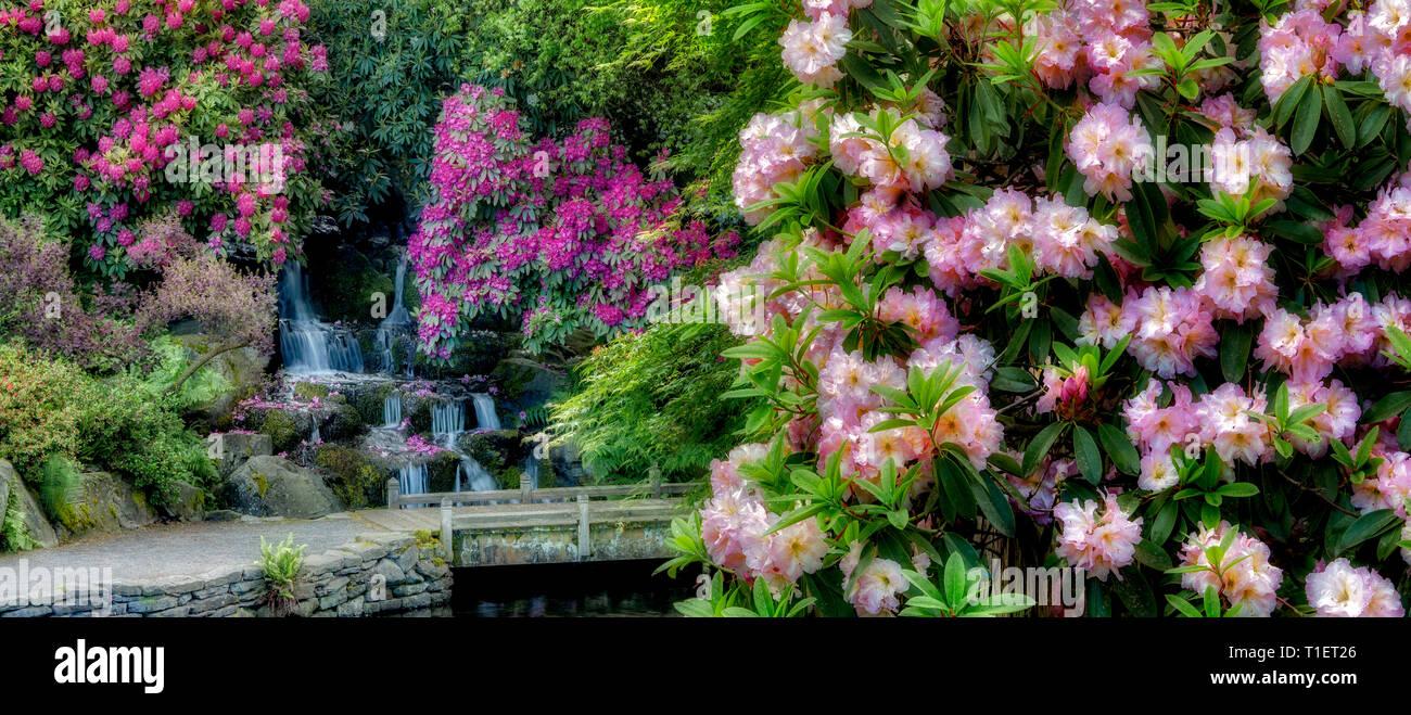 Rhododendren, Teich und Wasserfall mit kleinen Brücke. Crystal Springs Rhododendron Gardens, Oregon Stockbild