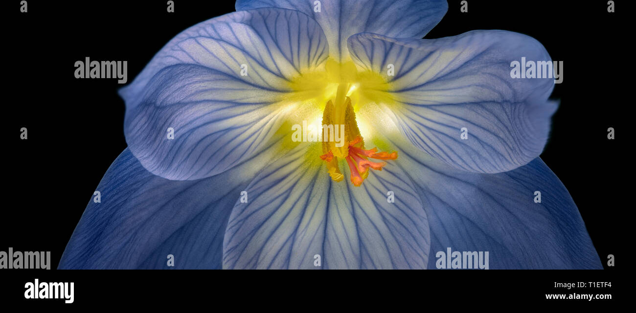 Nahaufnahme von Crocus tommasinianus (crocuc). Oregon Stockbild
