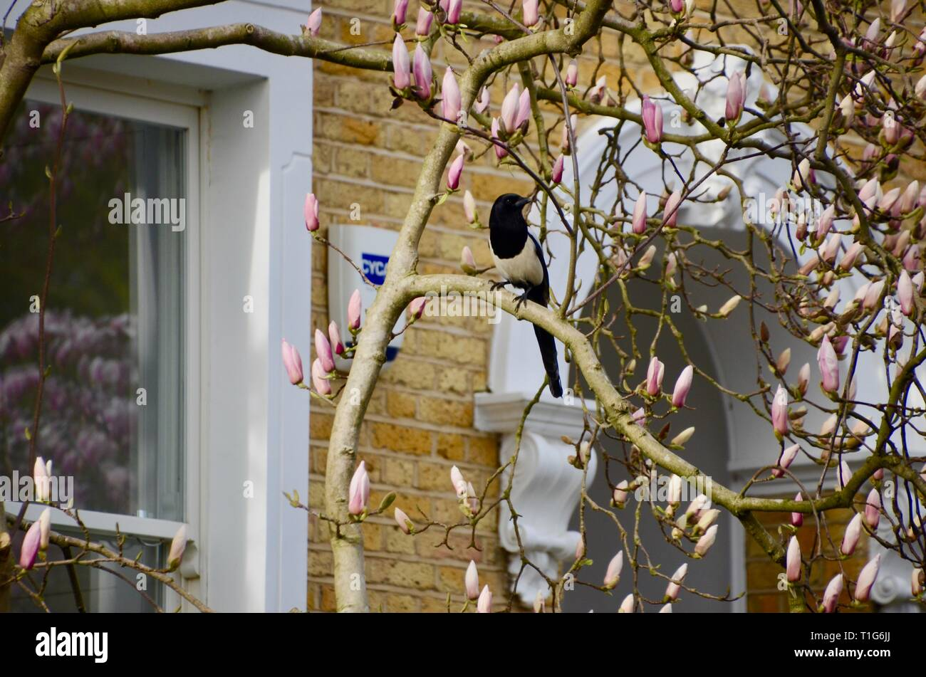 Eine einzelne Magpie in einem magnolienbaum im Norden von London England gehockt Stockbild