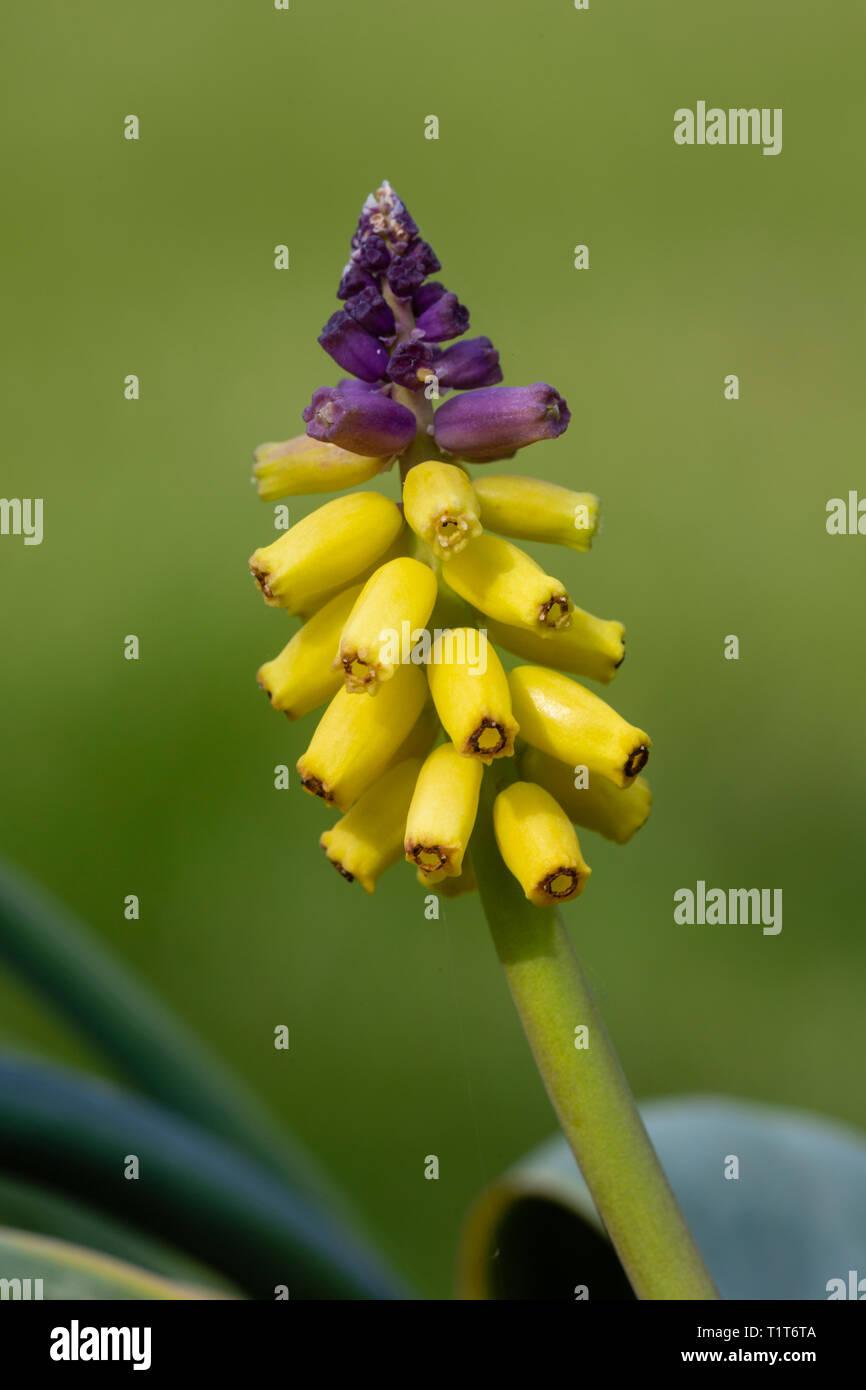 Gelbe Traubenhyazinthen, Muscari macrocarpum, im Anbau (Herkunft Kreta, Türkei). Familie Asparagaceae Stockbild