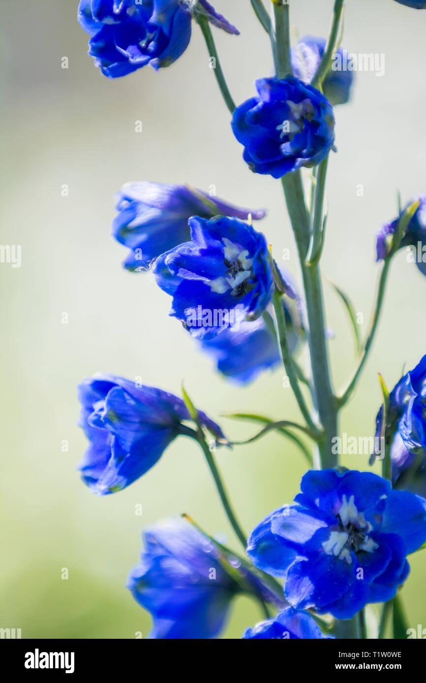 Blauer Rittersporn Lincolnshire Stockbild