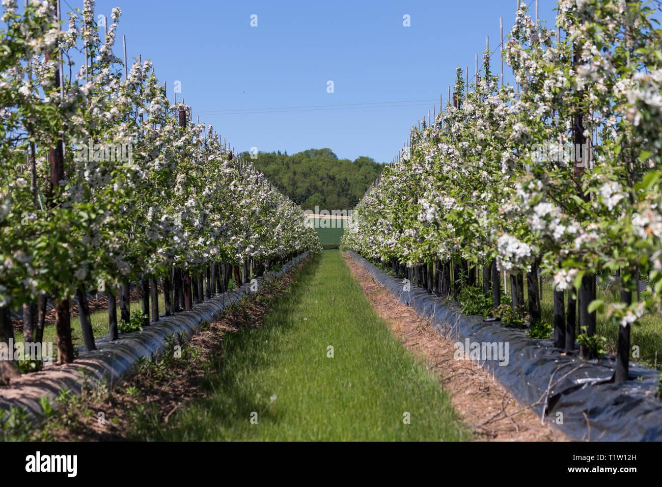 Cherry Orchard Herefordshire Stockbild