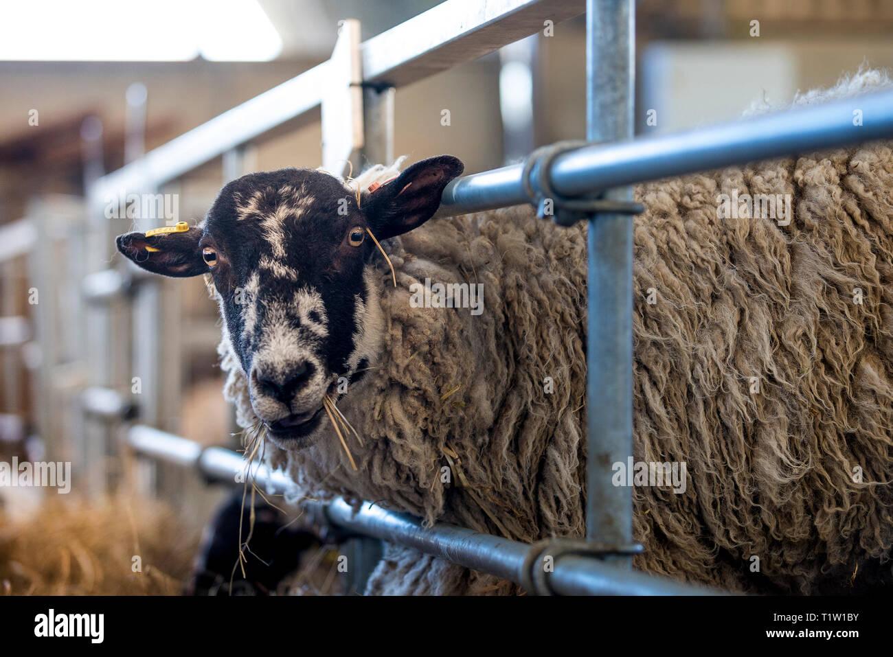Ewe in Scheune Warwickshire Stockbild