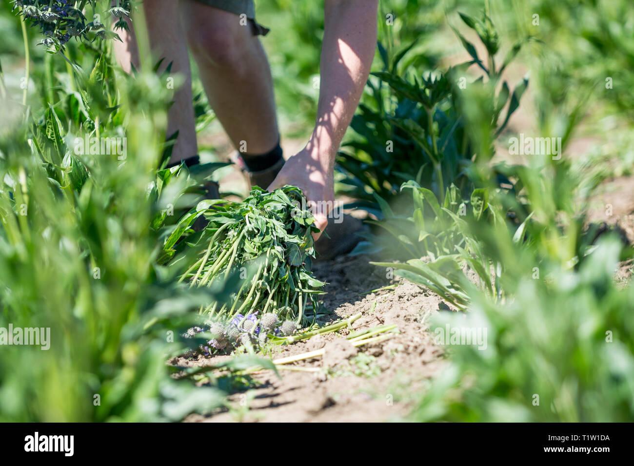 Landwirt Kommissionierung scabious Blumen Lincolnshire Stockbild