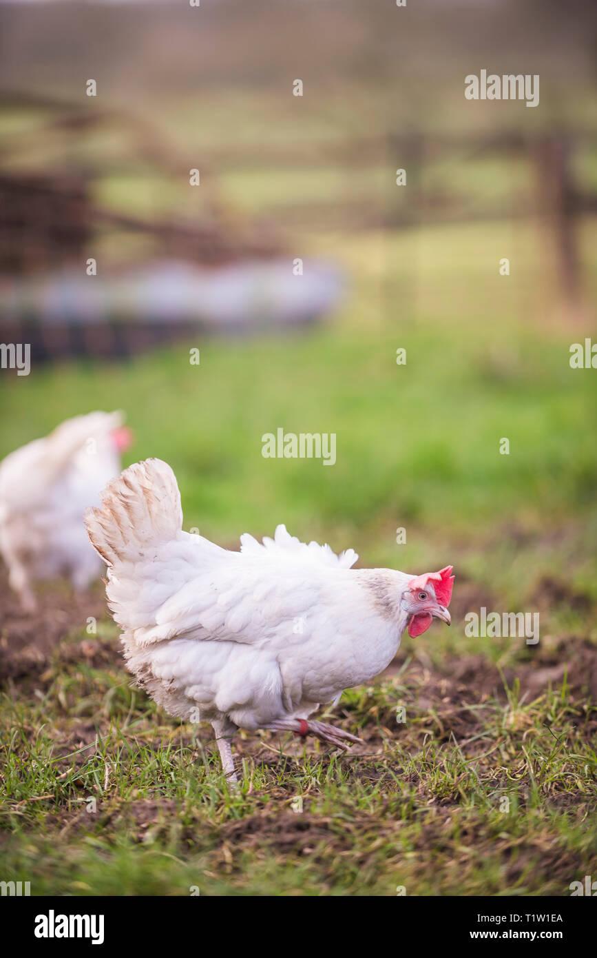 Free Range Hühner auf Bauernhof in Leicestershire Stockbild