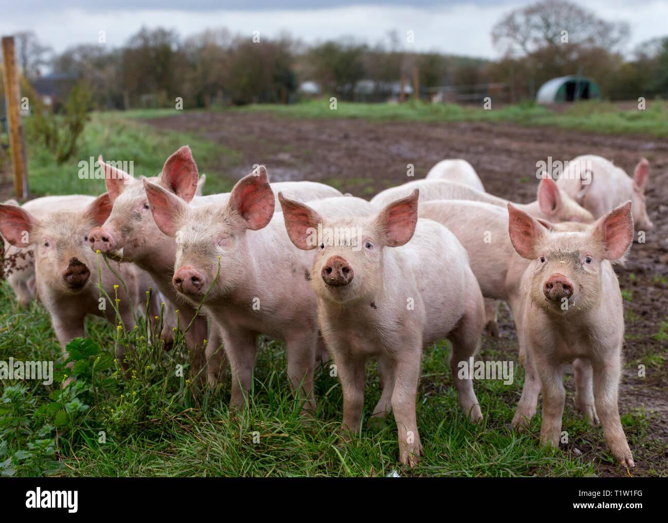 Die Freilandhaltung von Schweinen in Essington Farm Wolverhampton Stockbild