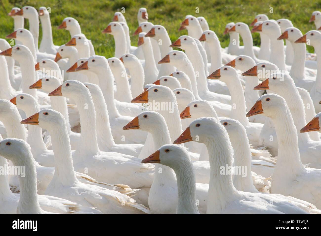 Schar der weißen Gänse Somerset Stockbild