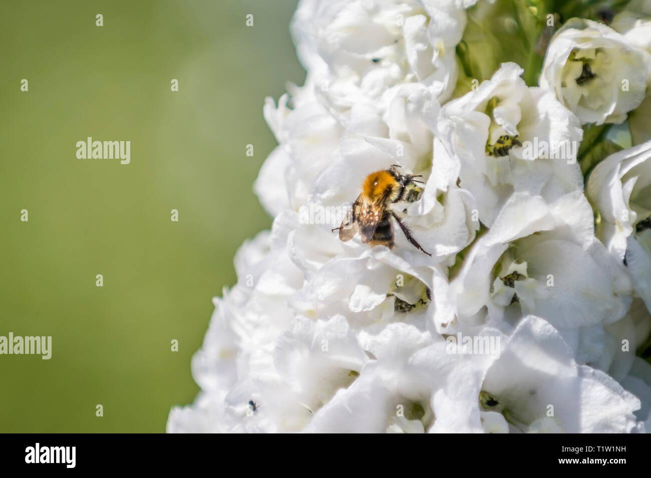 Honig Biene auf Blume Rittersporn Stockbild