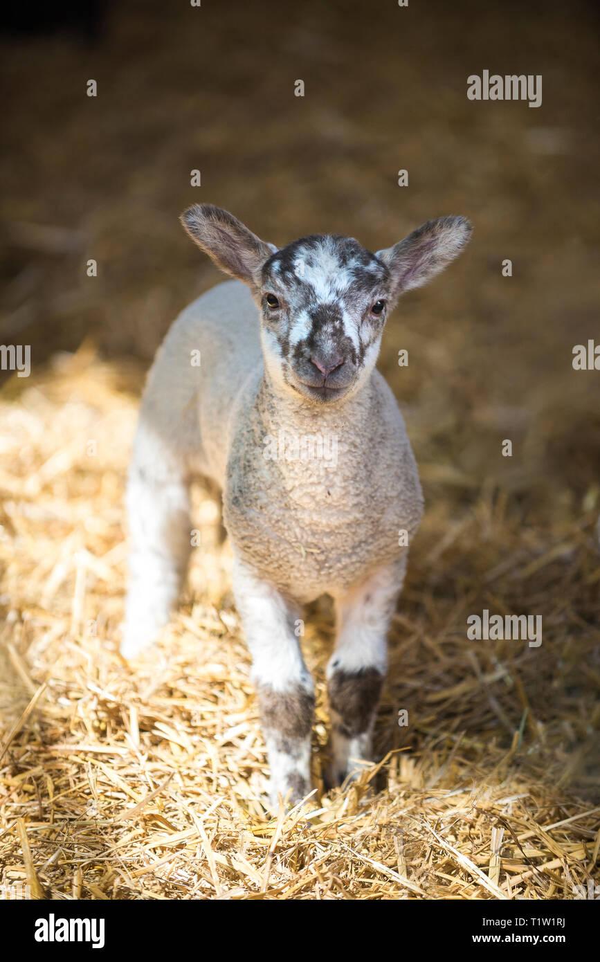 Lamm in der Scheune Warwickshire Stockbild