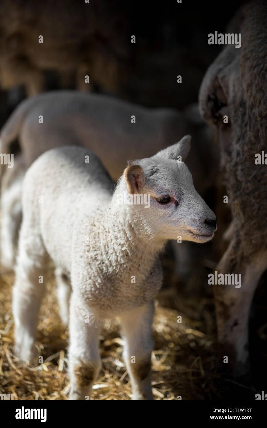 Lämmer und Mutterschafe Warwickshire Stockbild