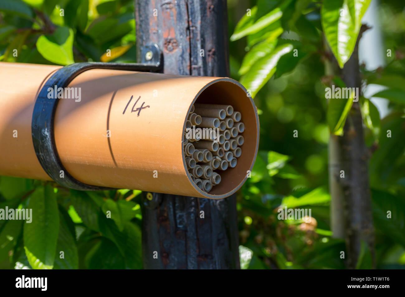 Mason bee nesting Rohre Herefordshire Stockbild