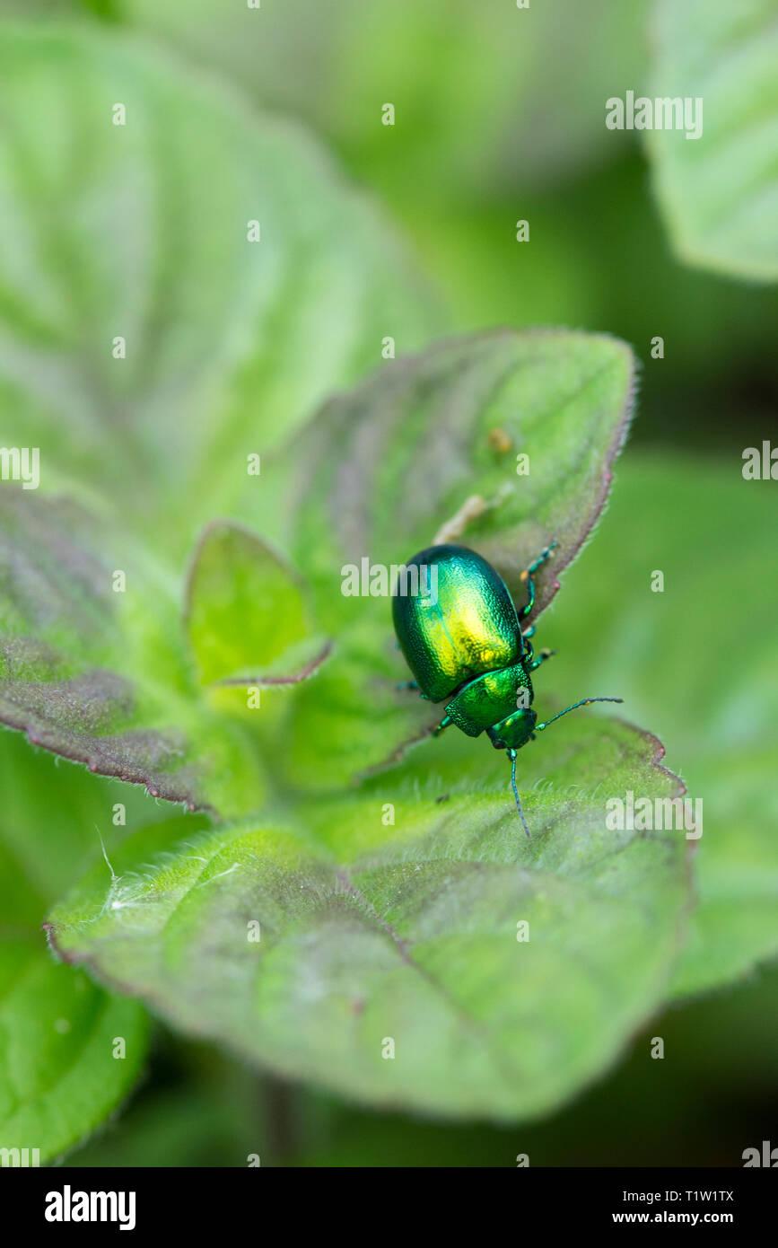 Mint leaf beetle Wiltshire Farm Stockbild