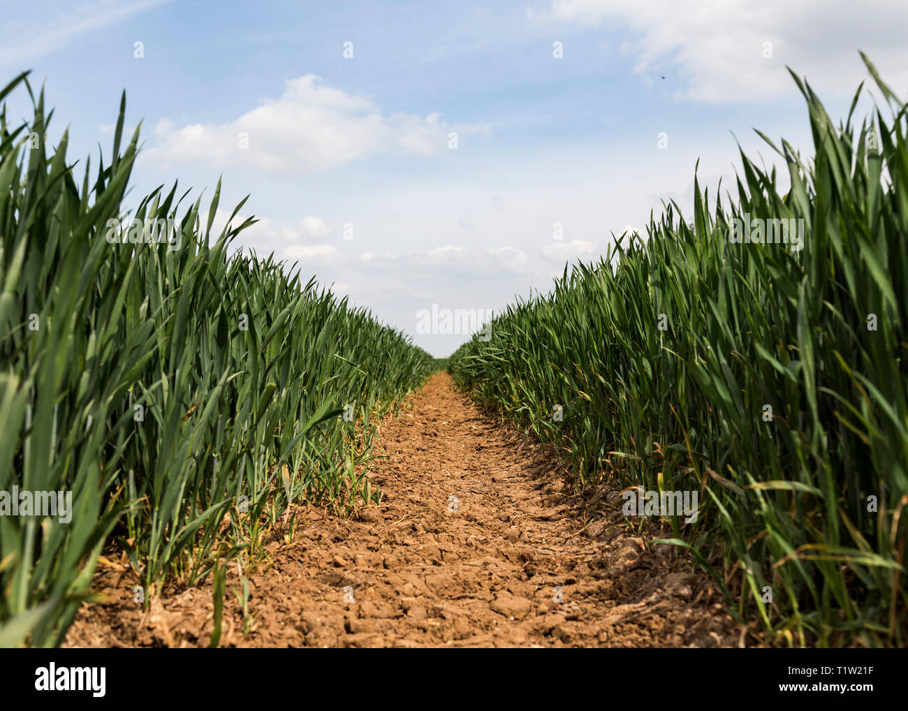 Pfad durch die jungen Weizenfeld South West England Stockbild