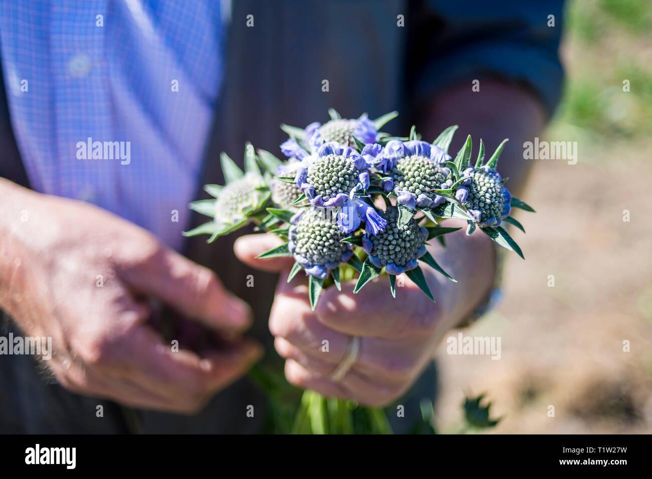 Scabious Blumen in der Nähe von Farmer gehalten Stockbild