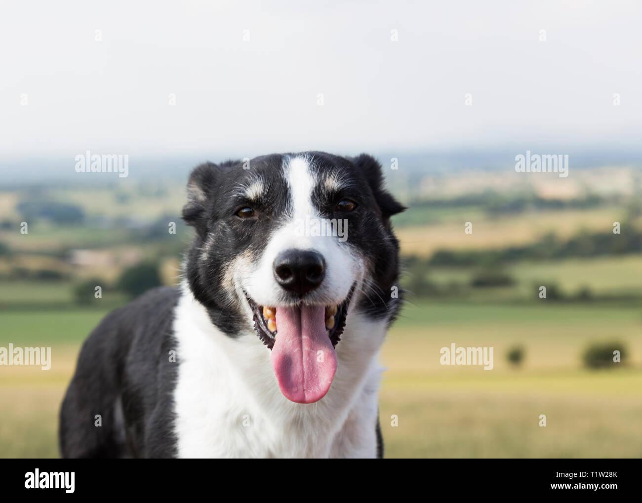 Schäferhund auf Uplands Farm Lancashire Stockbild