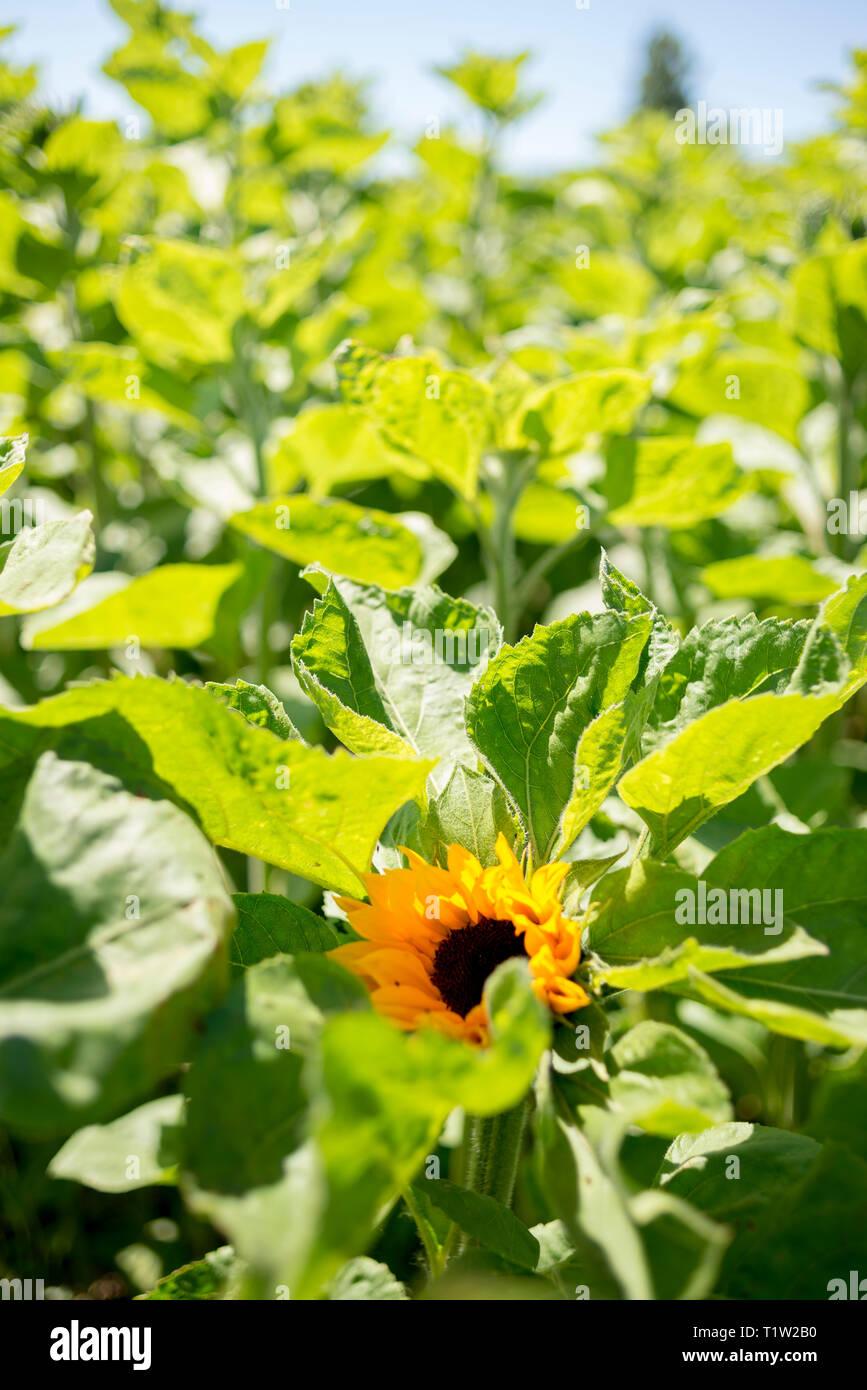 Sonnenblume Erntegut Lincolnshire Stockbild