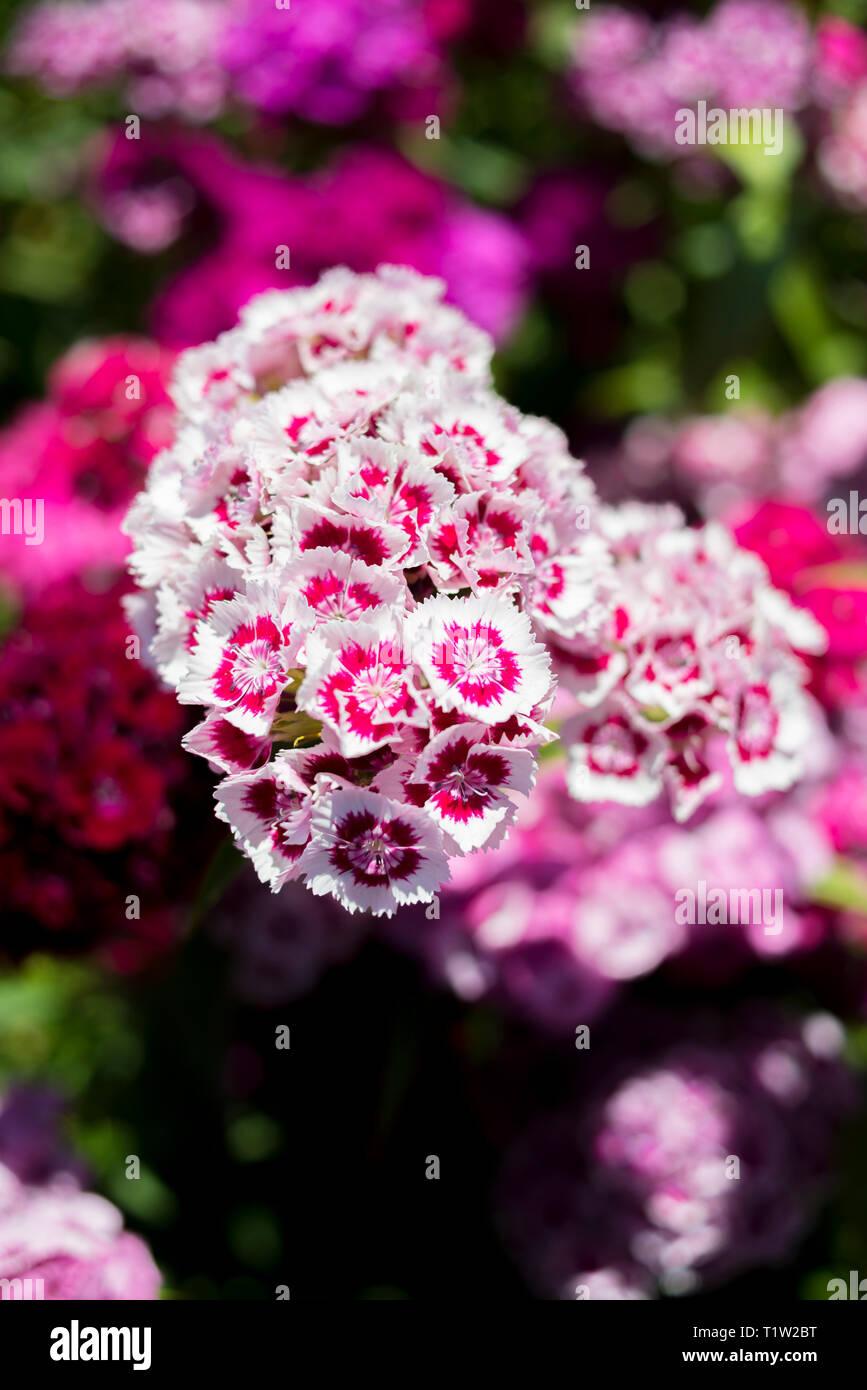 Sweet Williams Blumen im Feld Nahaufnahme Stockbild