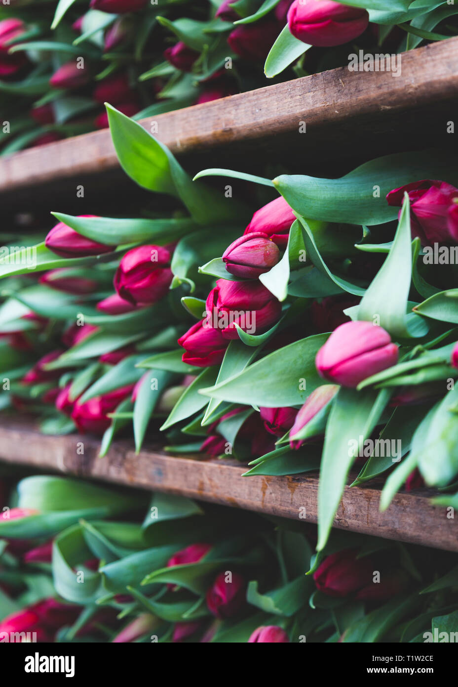 Tulpen in Norfolk Baumschule Stockbild