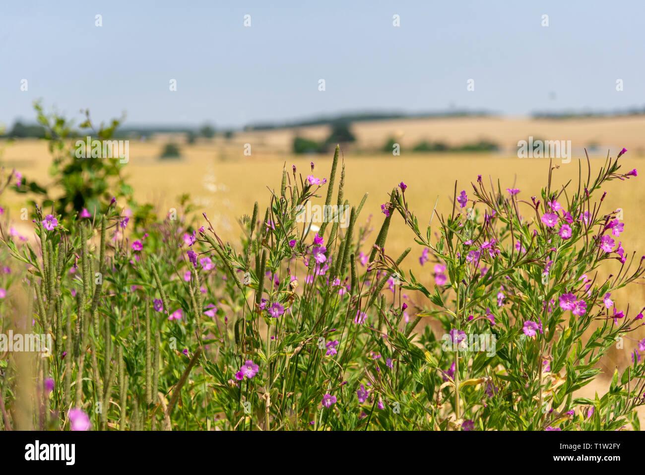 Wildflower Marge Hertfordshire Ackerland Stockbild