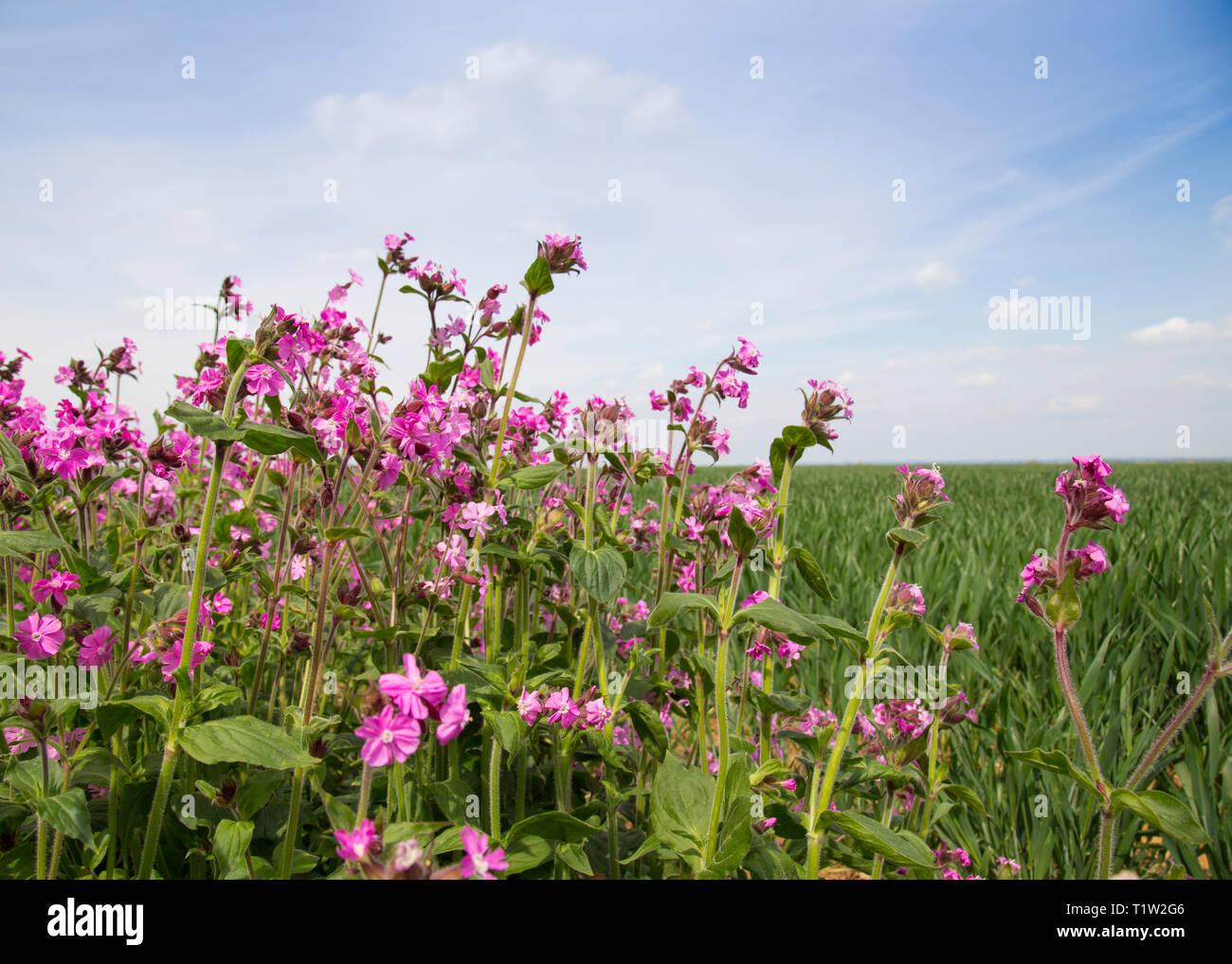 Wildflower Marge neben Weizen South West England Stockbild