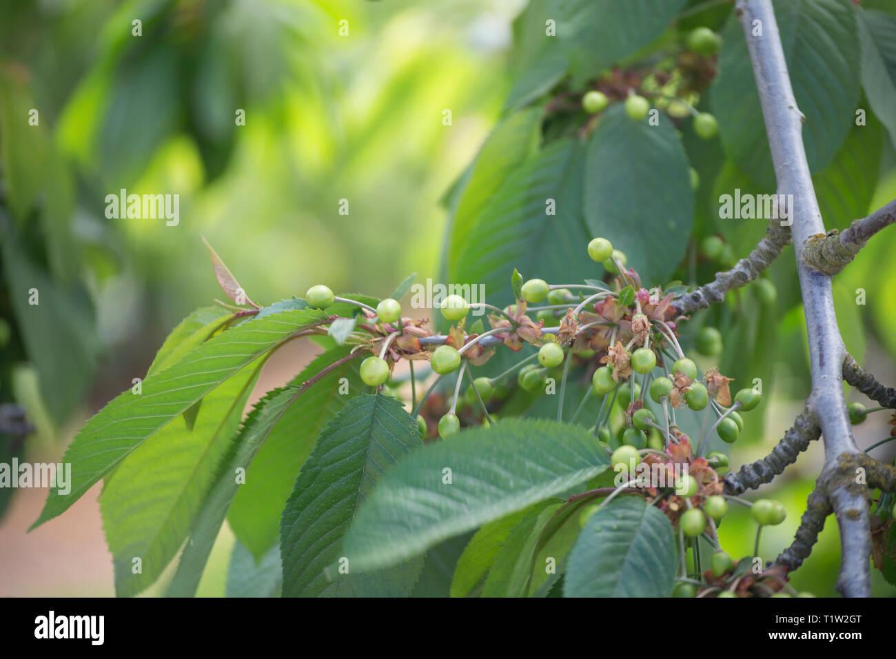 Junge Kirschen wachsen in Orchard Herefordshire Stockbild