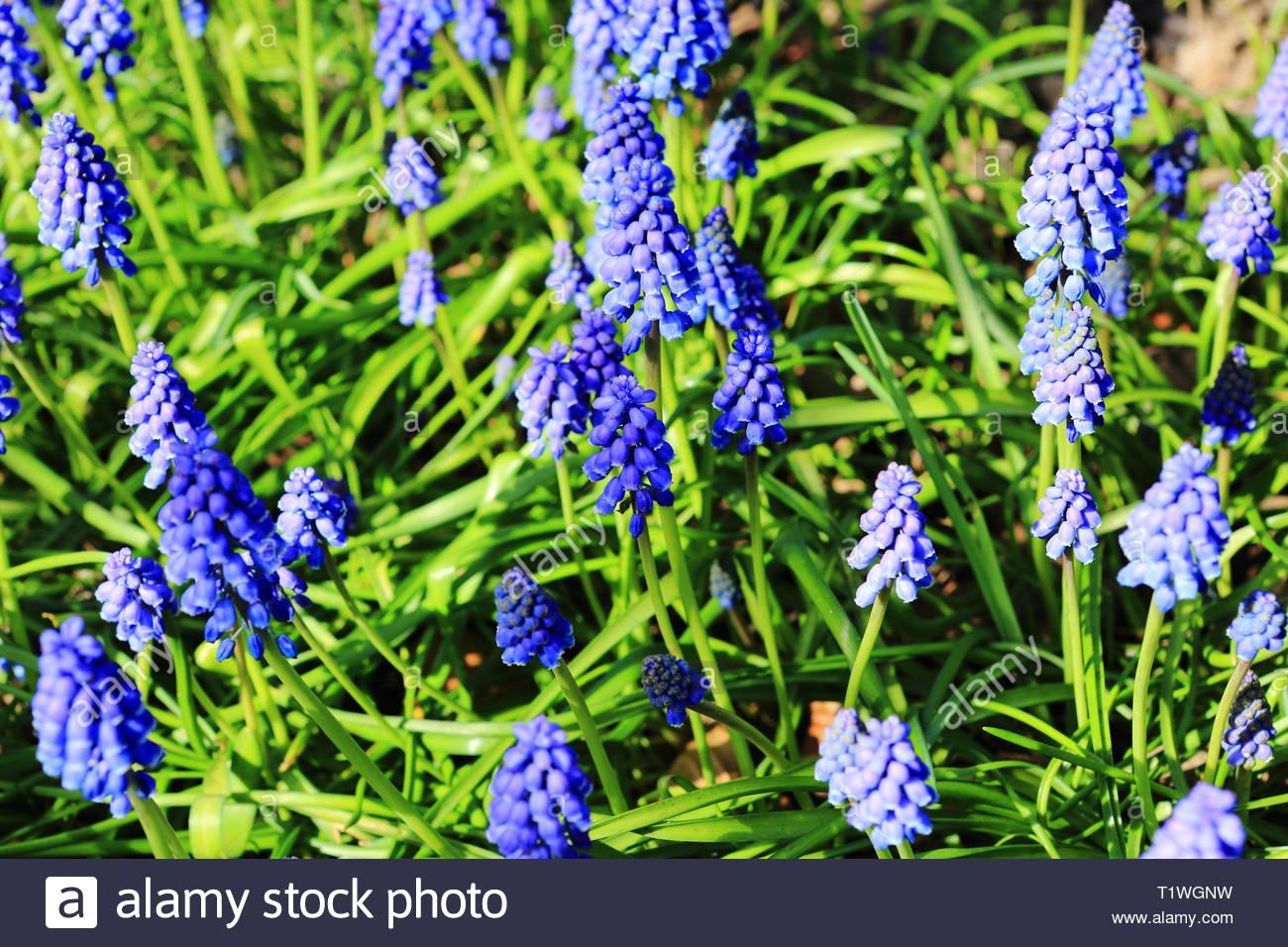 Muscari Traubenhyazinthen Asparagaceae Pflanzen am Anfang des Frühlings, März 2019 Stockbild