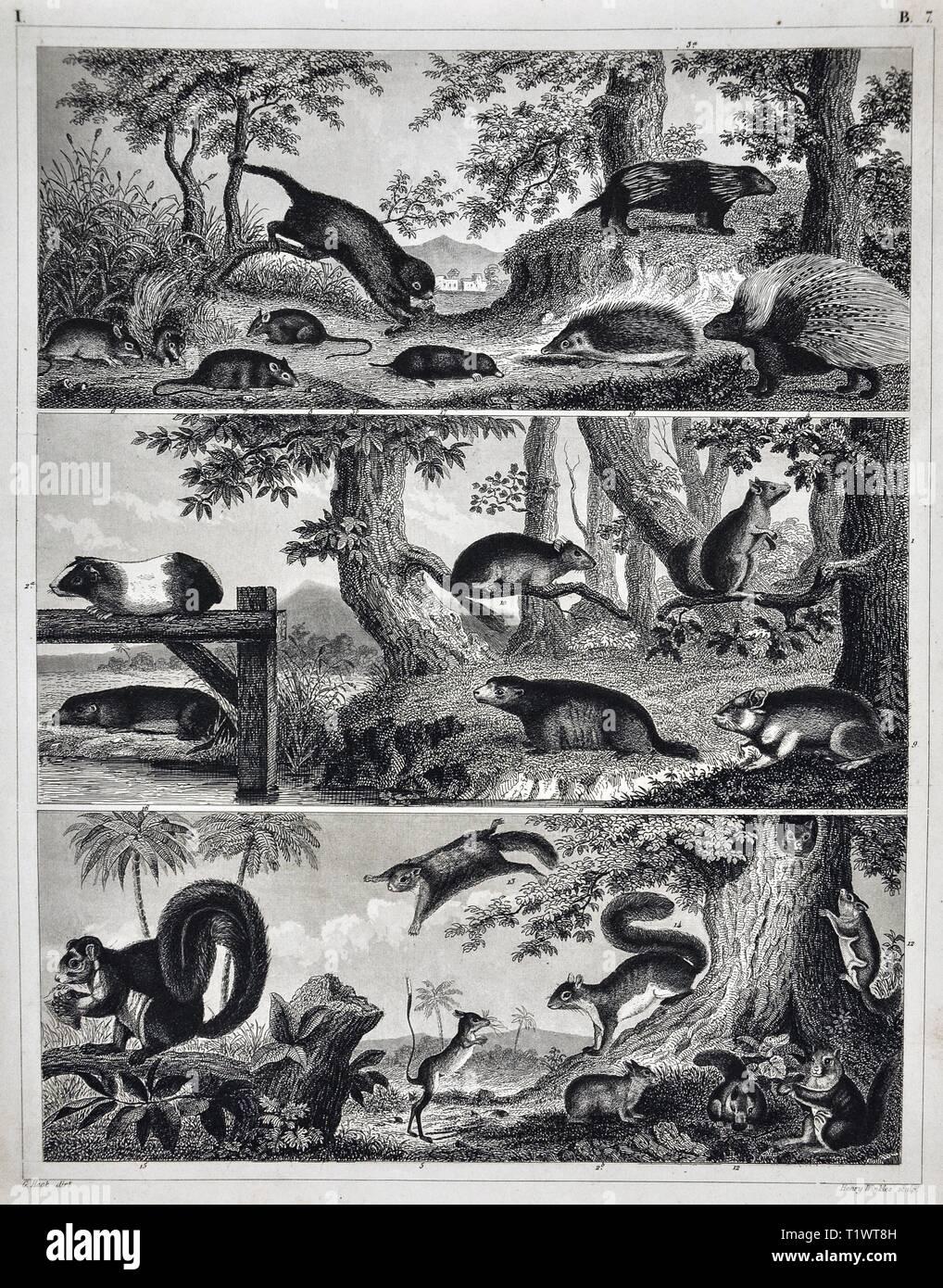 1849 Zoologische Drucken Wildtiere Säugetiere Verschiedene