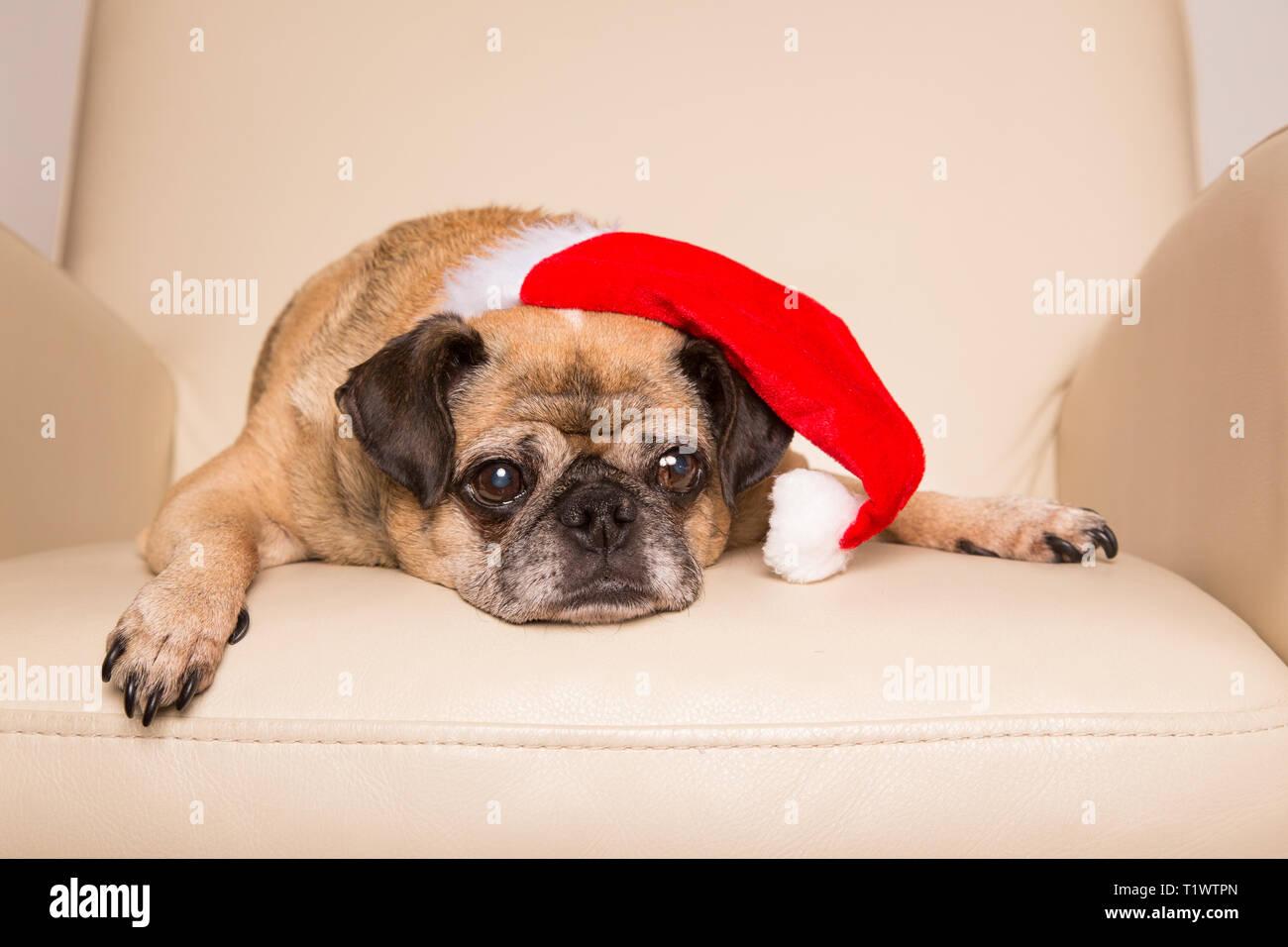 Alte Mops Hund Tragen Santa Hut Und Liegen Auf Einem Stuhl Stockfoto