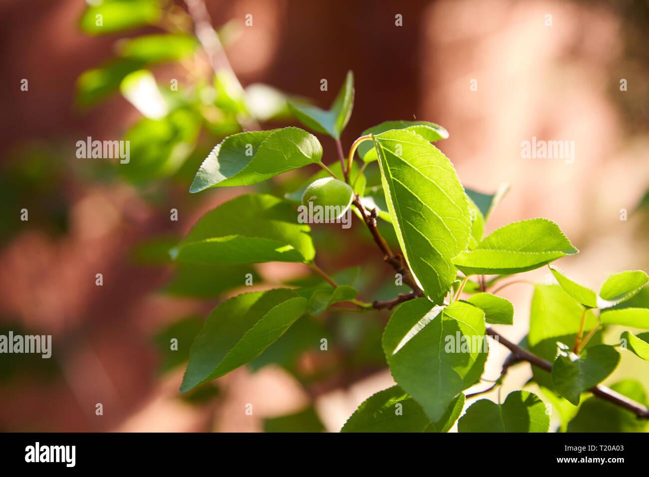 Grüne unreife Aprikosen auf einem Ast an einem sonnigen Tag auf einem unscharfen Hintergrund Stockbild