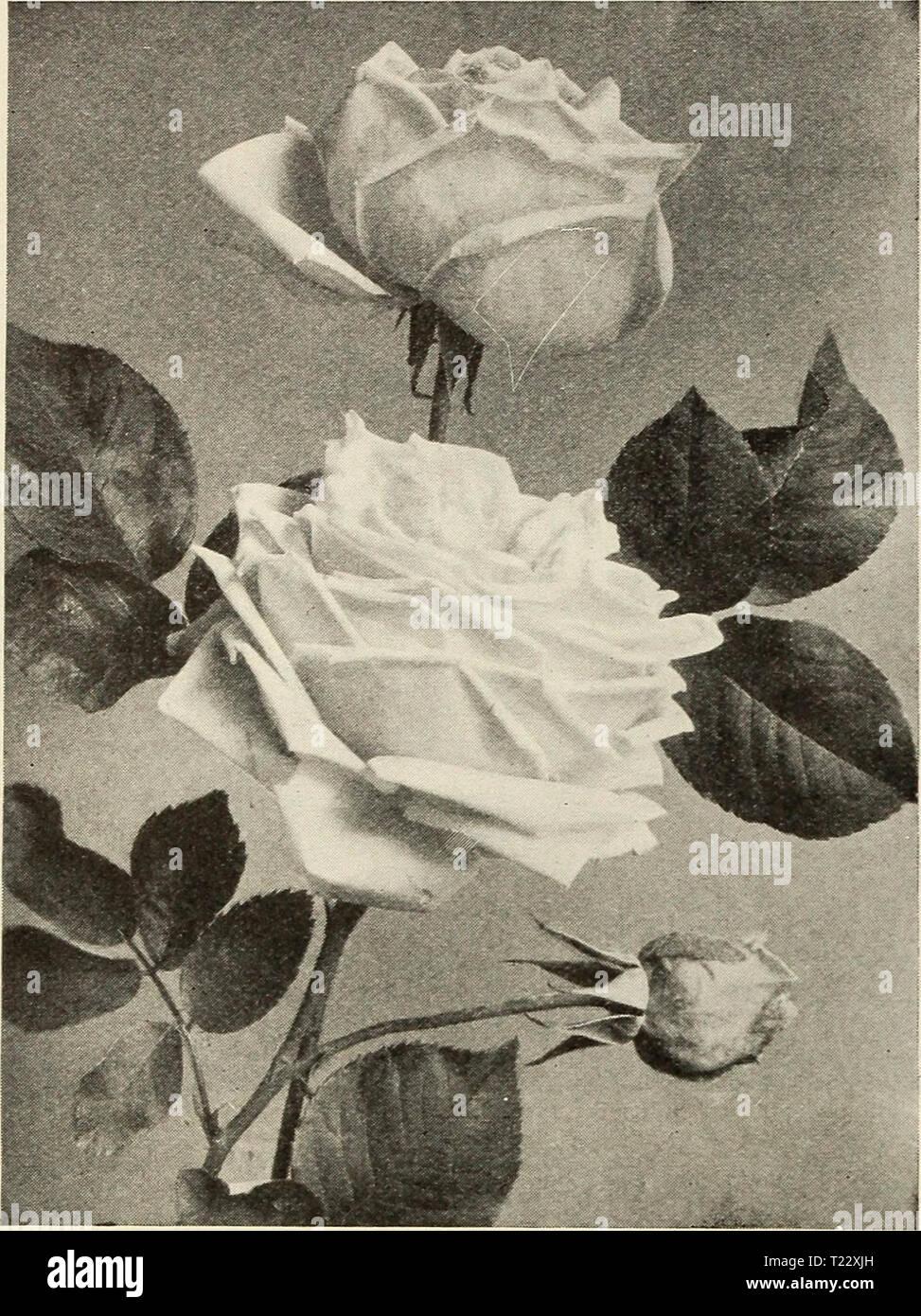Archiv Bild Von Seite 29 Der Dingee Leitfaden Zur Rose