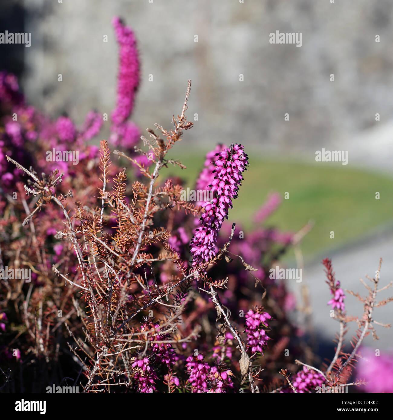 Violett Rosa Lavendel Blumen In Nyon Schweiz Während Ein Sonniger