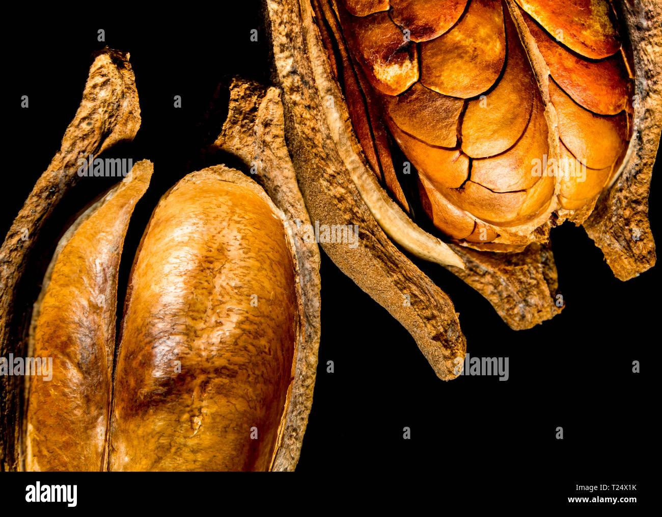 Afzelia Quanzensis 5 Samen Wunderschöne Schote Mahagoni