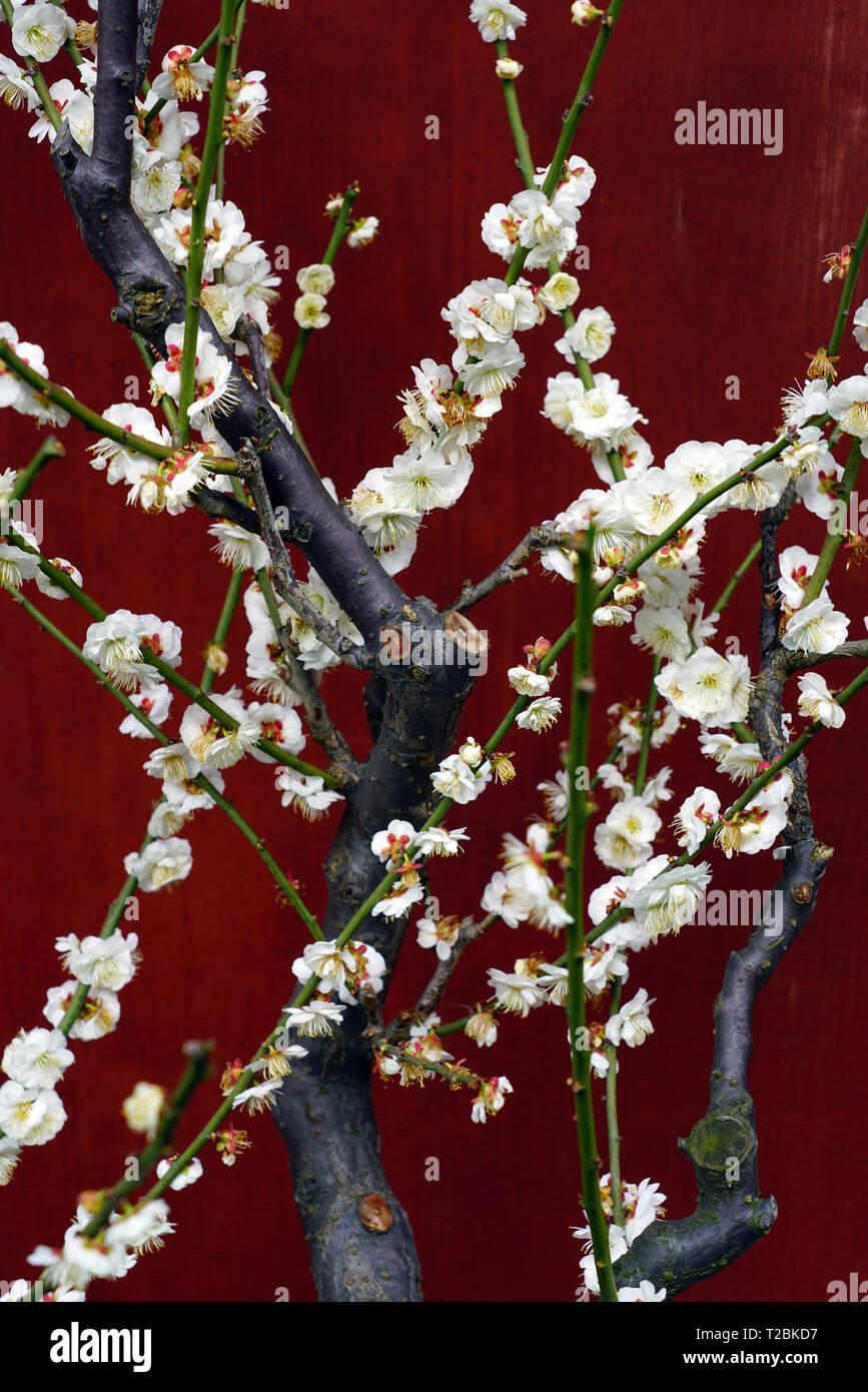 Weiß Blume blüht der Japanischen ume Aprikosenbaum, Prunus japanische Aprikose Stockbild